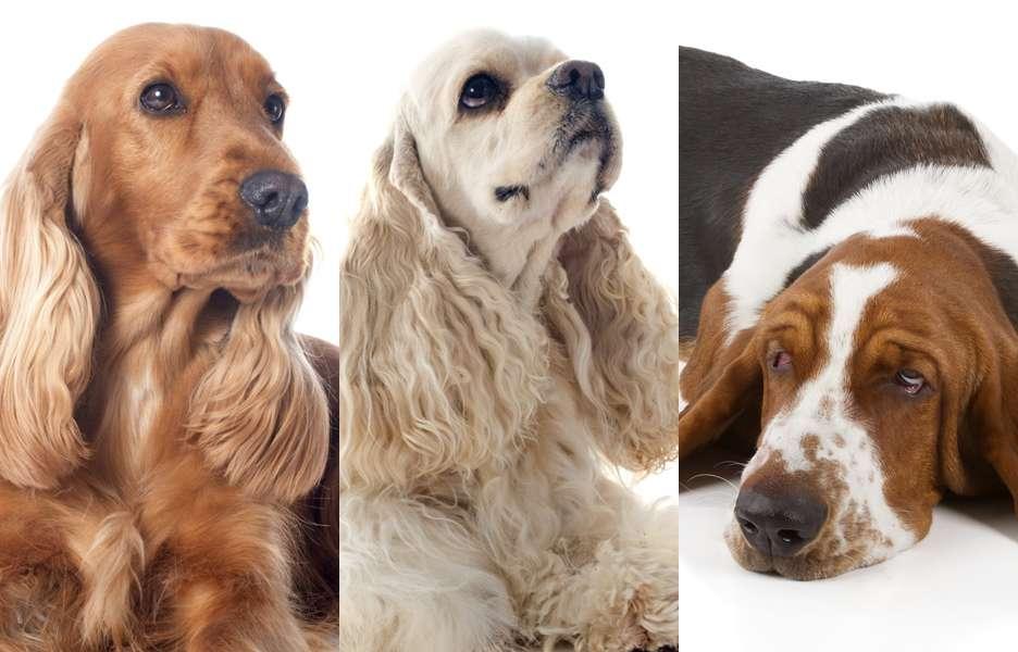 Saiba como prevenir otite em cães orelhudos