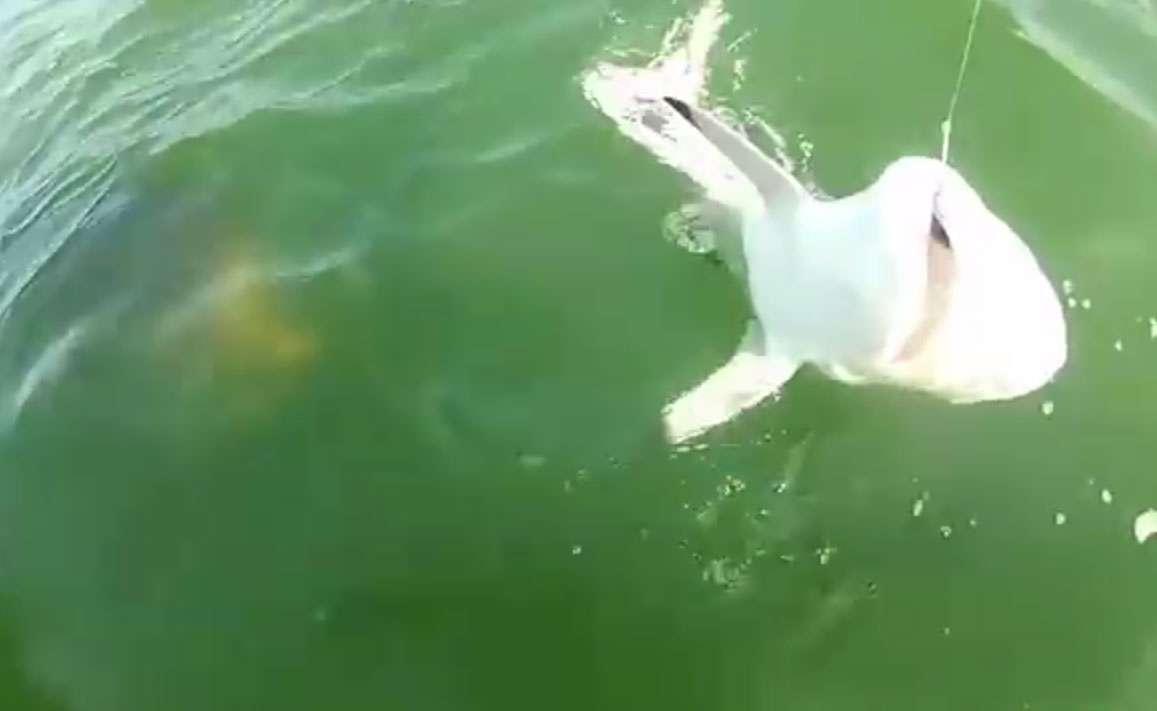 El momento donde el tiburón es devorado por un mero gigante.