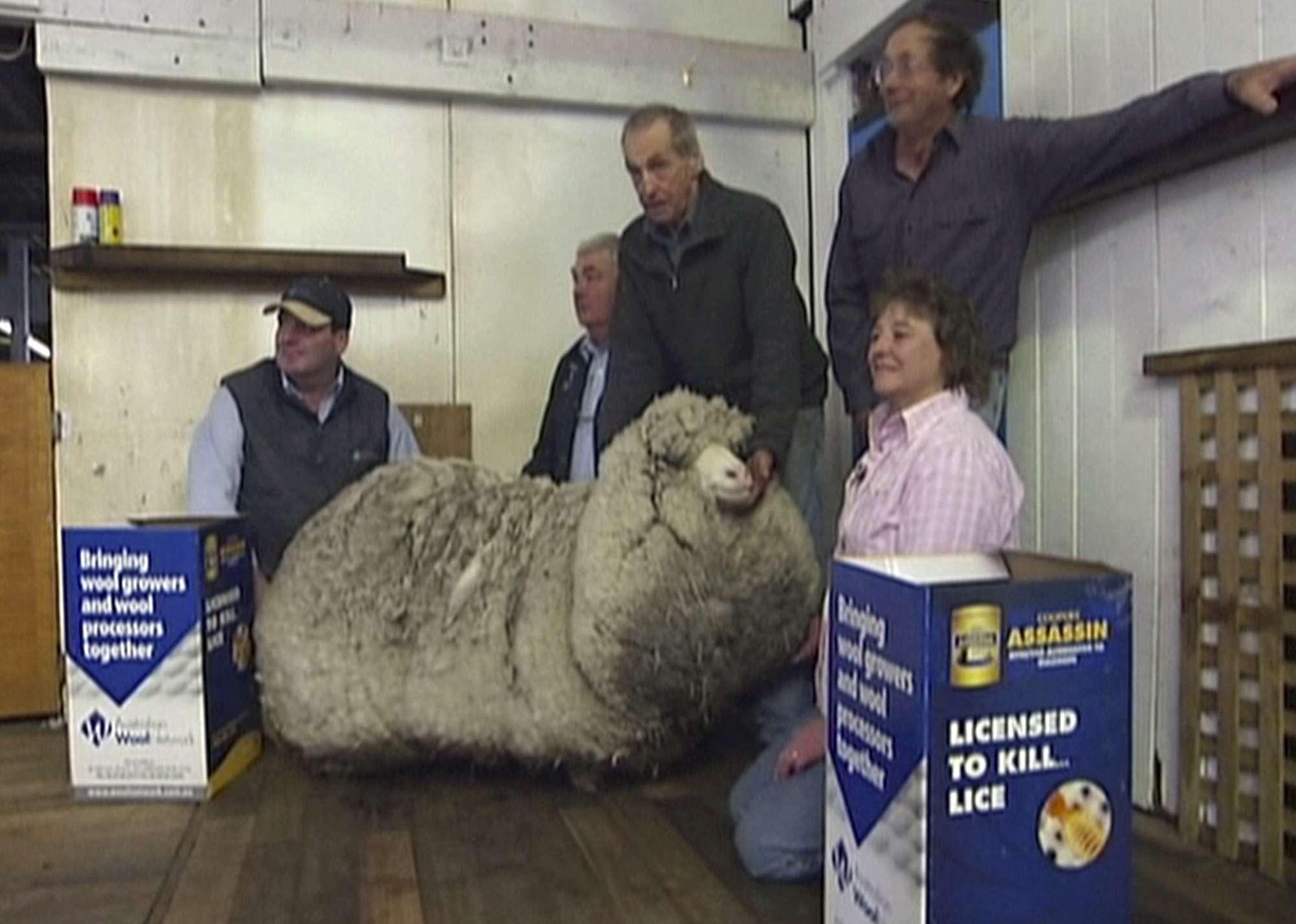 Hallan la oveja con más lana del mundo en Australia