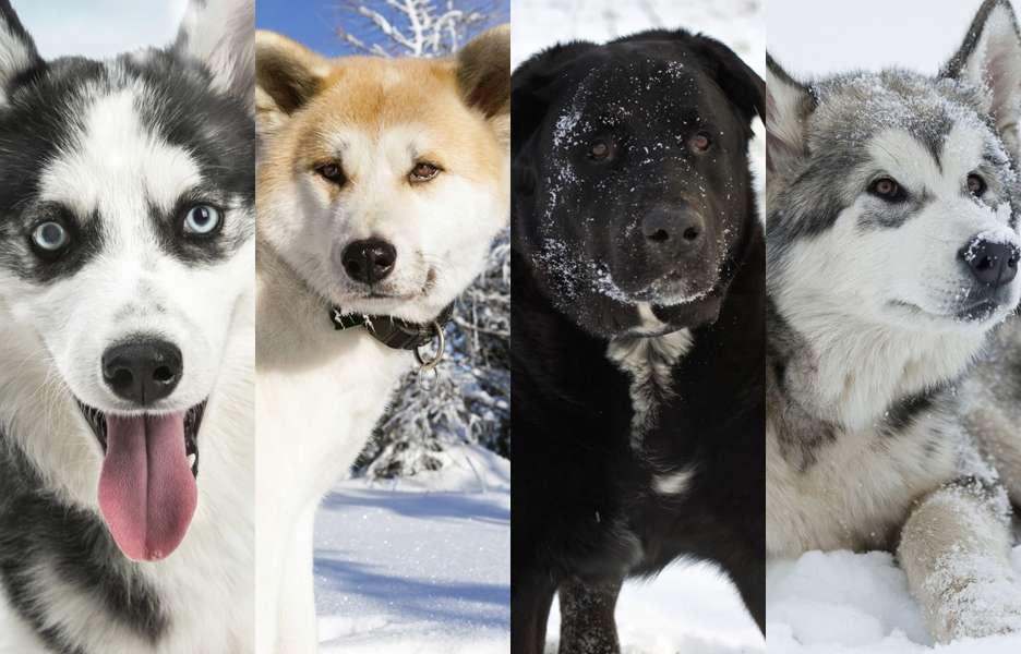 Que frio! Conheça cães que vivem muito bem na neve