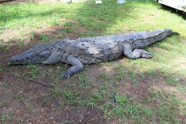 Cocodrilo que mordió a bañistas en Miami muere en captura