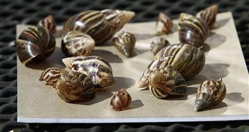 Costa Este en alerta por invasión de caracoles gigantes
