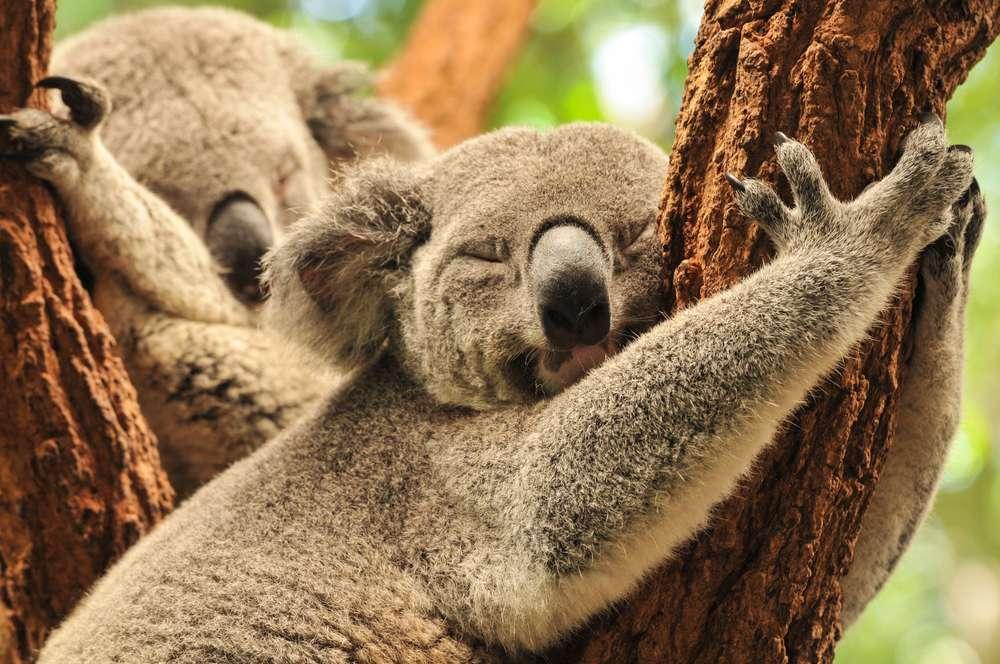 Lone Pine Koala Sanctuary - O Santuário de Coalas de Lone Pine é reconhecido pelo Guinness Book como o primeiro e maior santuário de coalas no mundo. Mais de 130 coalas vivem ali e podem ser fotografados e até tocados pelos visitantes. O local também conta com outros animais típicos da Austrália, como o curioso ornitorrinco Foto: covenant/Shutterstock