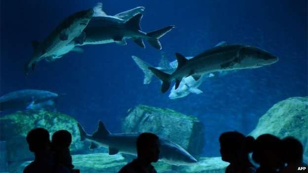Peixe de 140 milhões de anos pode ser extinto pela poluição Foto: AFP