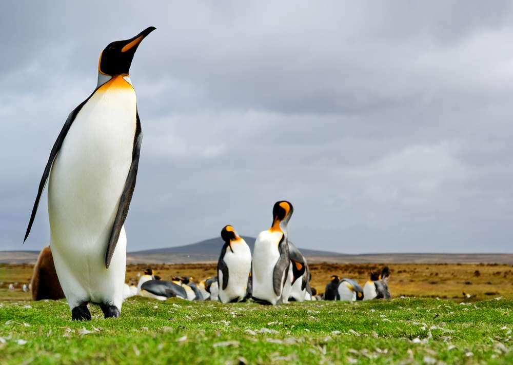 Volunteer Point - Um dos mais populares e importantes destinos turísticos das Ilhas Malvindas é o Volunteer Point. Lar da maior colônia de pinguins reais da ilha, também é movimentado pela presença de diversos pássaros. A praia Volunteer Beach é outro ponto que chama atenção pela beleza Foto: kwest/Shutterstock