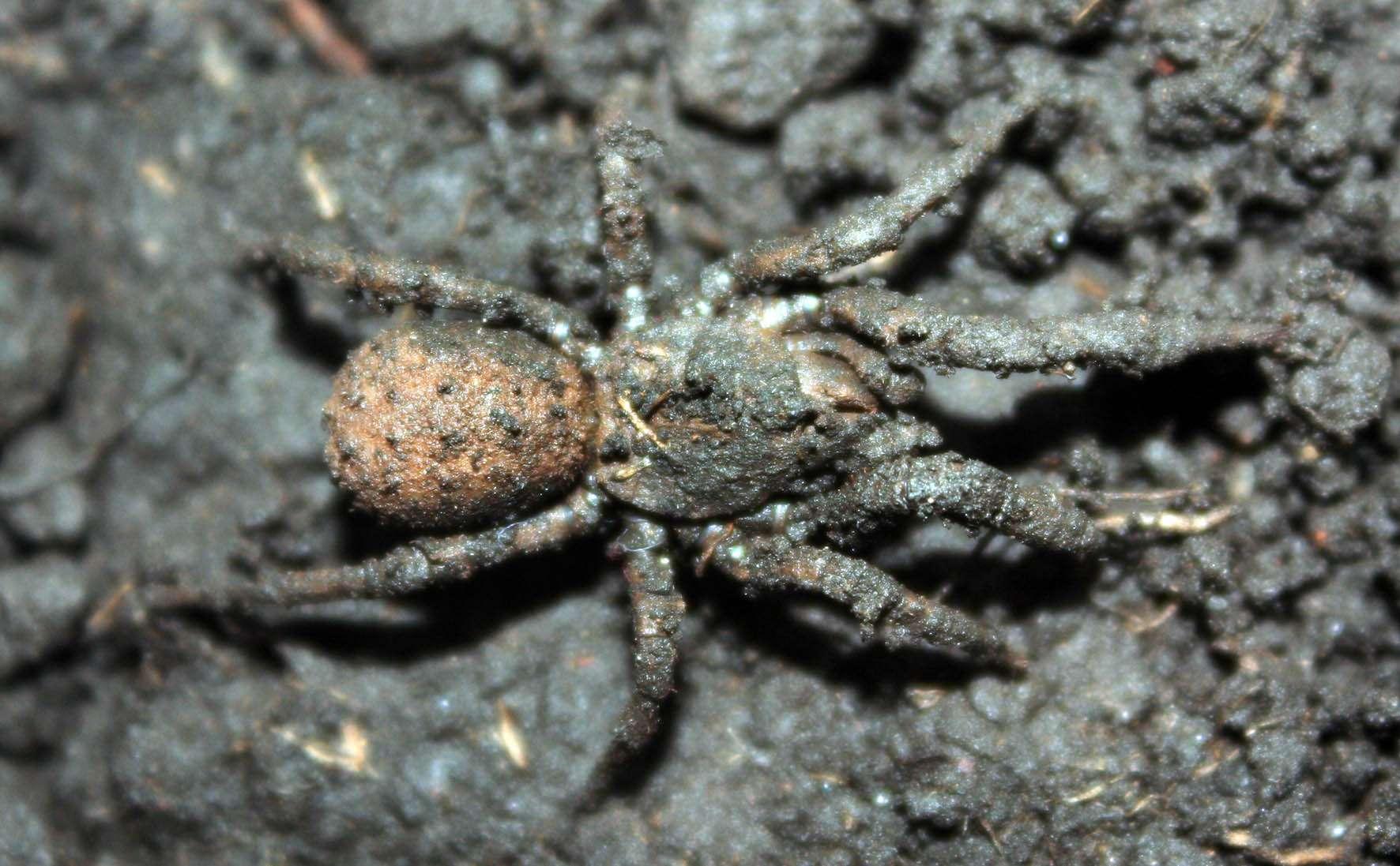 Las Paratropis tuxtlensis toman su nombre científico del sitio donde fueron localizadas, en el Área Natural Protegida de Los Tuxtlas Foto: UNAM