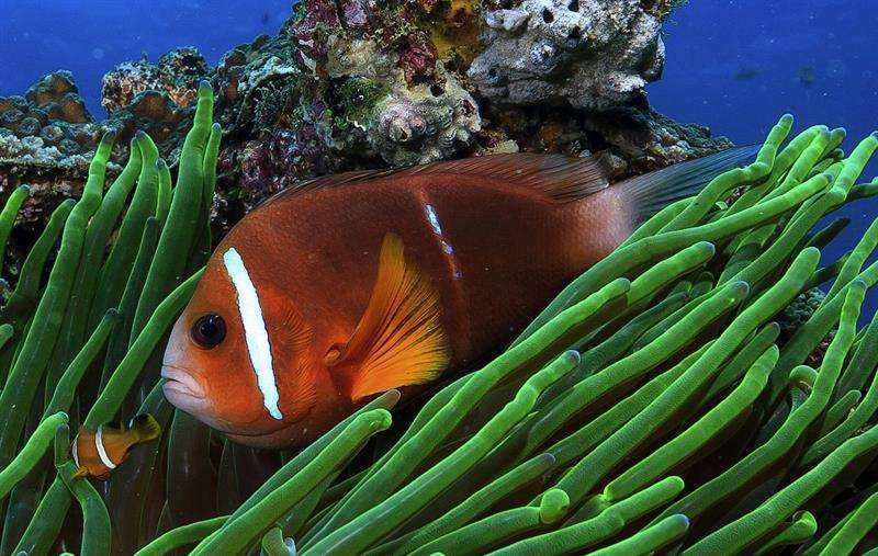 Fotografía facilitada por la Universidad James Cook de Australia de un pez payaso Foto: Efe