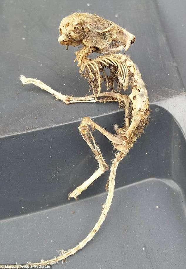 Esqueleto misterioso pode ser de um rato ou ratazana, de acordo com cientistas Foto: Daily Mail/Reprodução