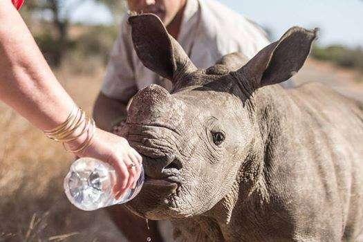 Pequeno rinoceronte estava desidratado Foto: Buzz Feed/Reprodução