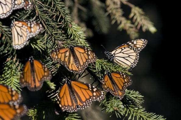 En los últimos 18 años, la población de mariposas monarca cayó de más de mil millones a unos 33 millones, según expertos Foto: AFP/Archivo