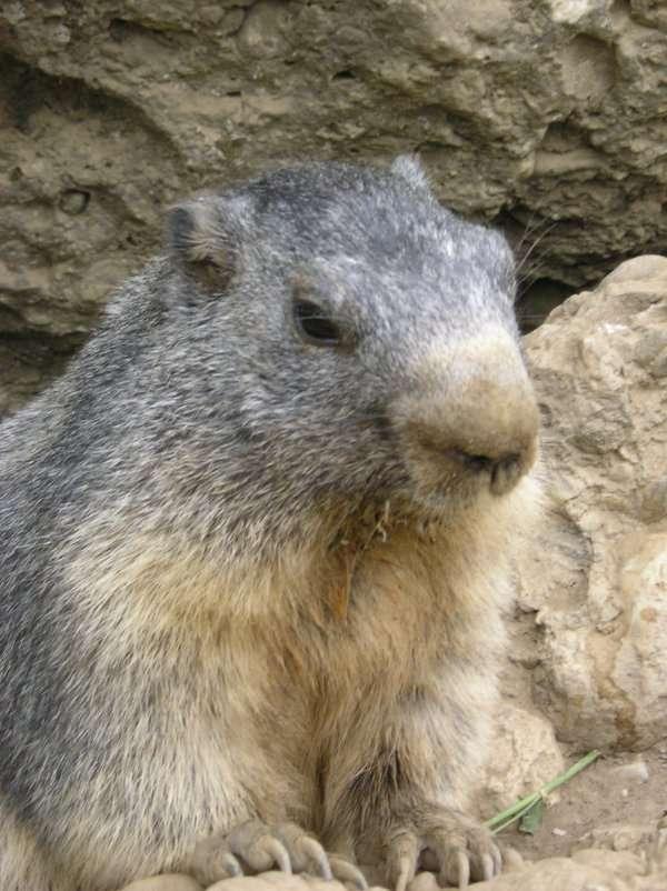 Marmota morreu após sofrer queda em fevereiro (imagem ilustrativa) Foto: Wikipédia