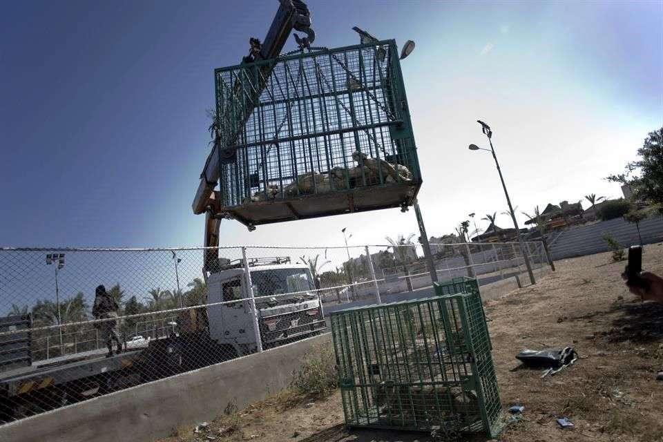 Tres leones casi en huesos fueron trasladados de la Franja de Gaza a Israel, una escala en su viaje con destino final en un santuario silvestre de Jordania, donde se espera que tengan una vida mejor después de que el zoológico donde vivían resultó dañado en la reciente guerra entre el Ejército israelí y la organización Hamas. Foto: AP en español