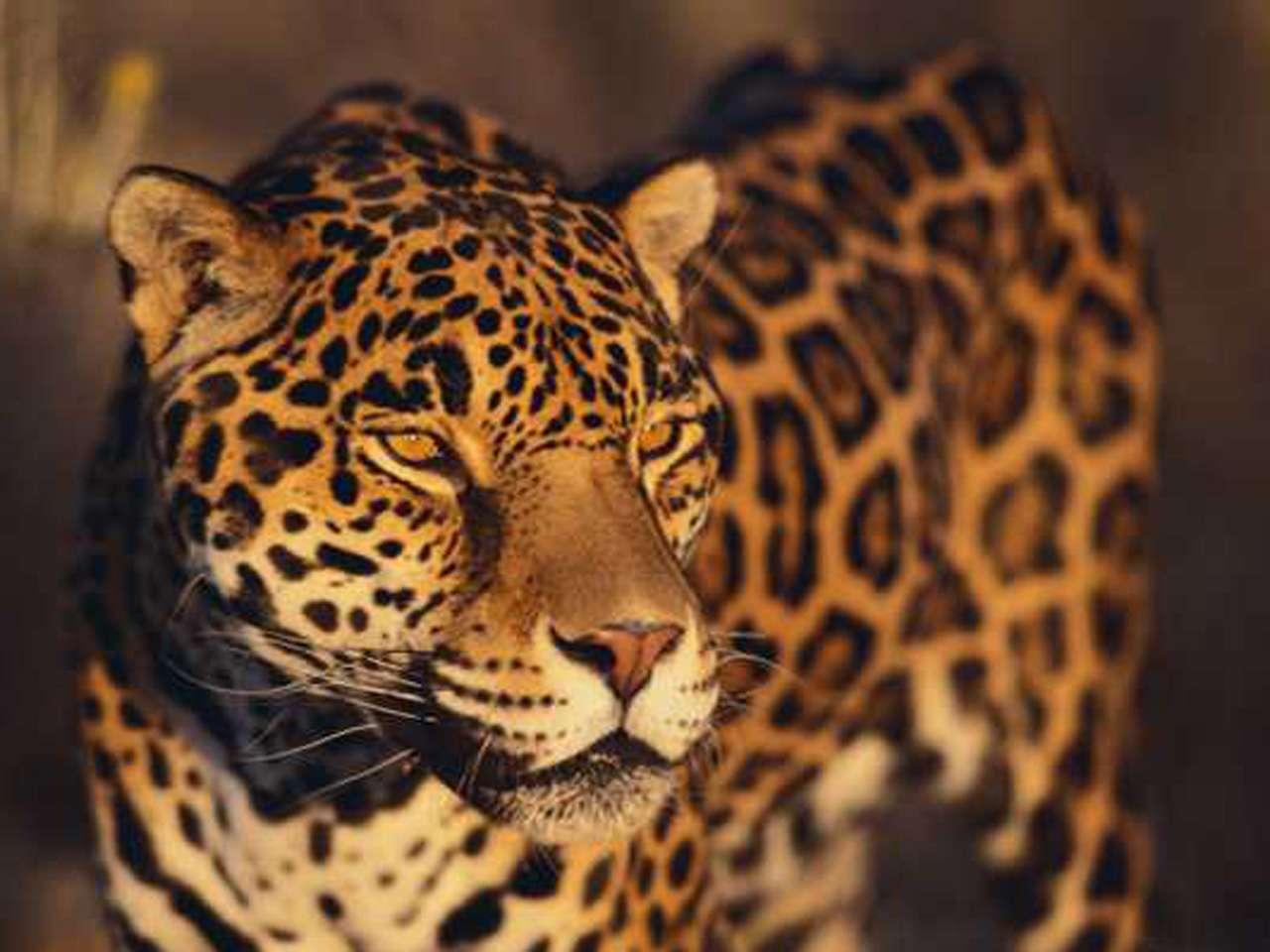 Las poblaciones de jaguar, el felino más grande del continente americano, se están reduciendo. Foto: Thinkstock/BBCMundo.com