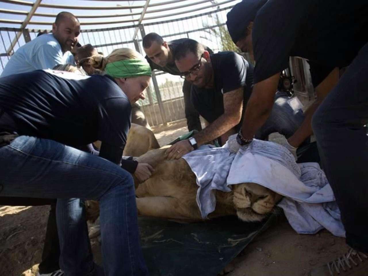 Los encargados del traslado y la ayuda son miembros de la organización Four Paws International Foto: AP en español