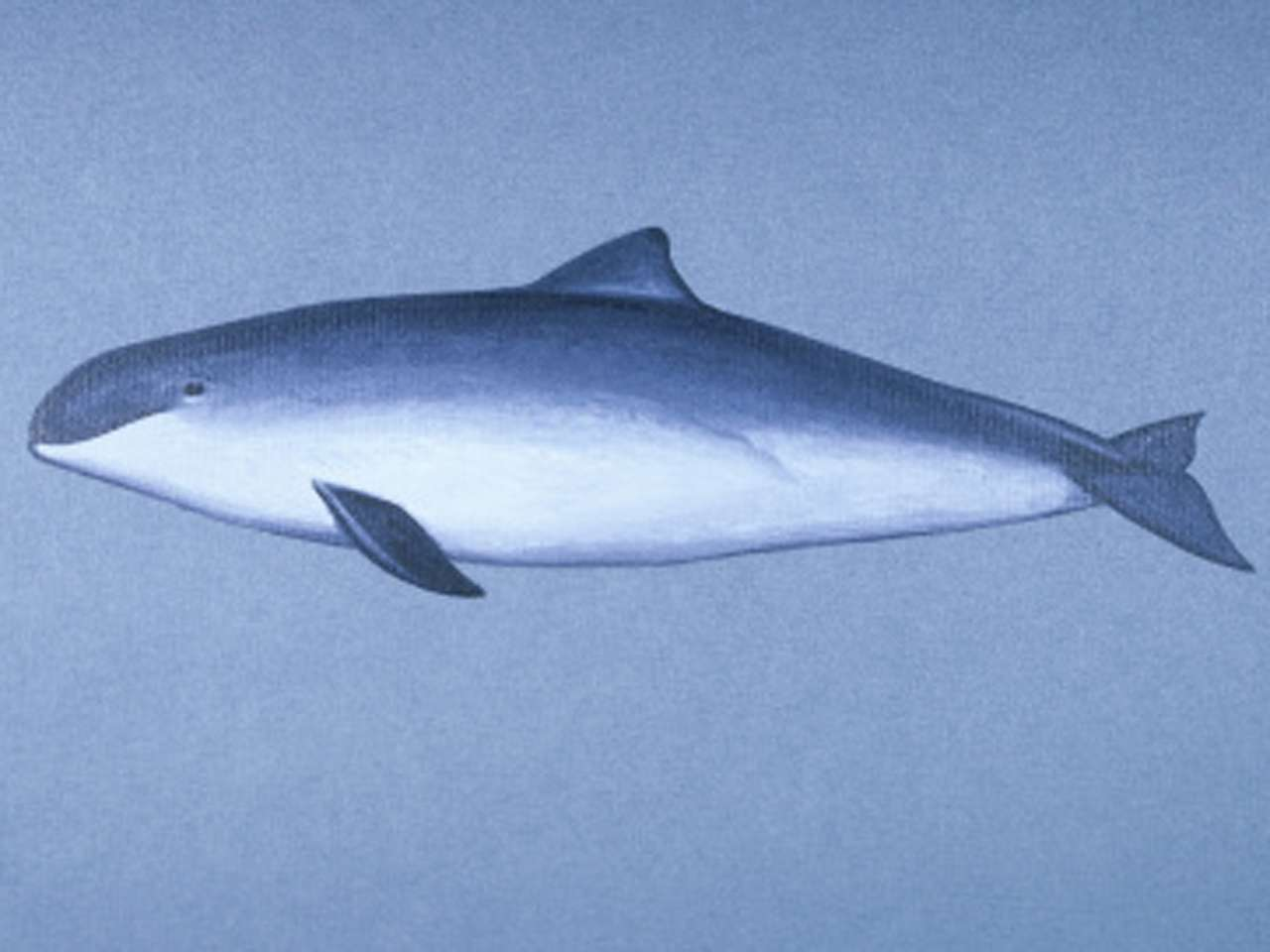 La vaquita marina (Phocoena sinus) es una de las seis especies de marsopa. Habita exclusivamente en el Golfo de California, México. En total, sólo quedan menos de cien ejemplares Foto: Getty Images/Richard Ellis