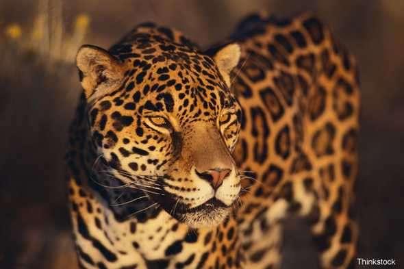 Jaguar Foto: BBC