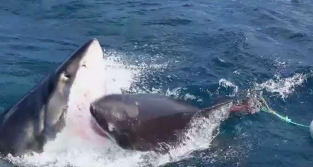 Canibalismo Tiburón Foto: Tomado de video