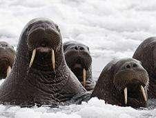 Morsas en Alaska Foto: BBC Mundo/Copyright