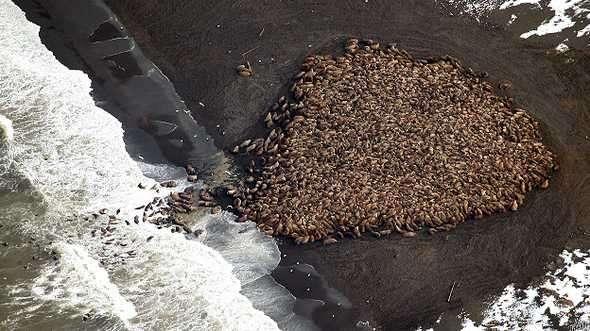 Las morsas suelen descansar en el hielo marino, pero a falta de éste lo hacen en las playas Foto: BBC Mundo/AP