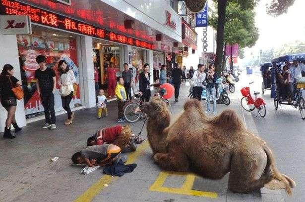 Camelo mutilado foi visto nas ruas de província chinesa Foto: The Mirror/Reprodução