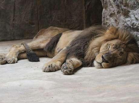 17 de octubre.- Los visitantes del zoológico de la ciudad de Gdansk, Polonia, observaron aterrorizados cuando un león atacó a su compañera de jaula hasta causarle la muerte. En un principio parecía que el león Arco y la leona Berghi jugaban a zarpazos, pero unos instantes después el león mordió el cuello de la hembra hasta que privarla de la vida. Foto: Facebook/Miejski Ogród Zoologiczny Wybrze|a w GdaDsku