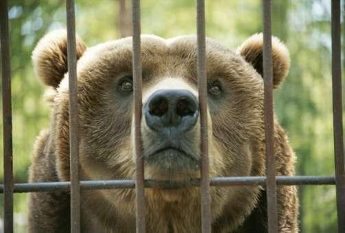 El niño introdujo su brazo en la jaula del oso Foto: Getty Images/Archivo