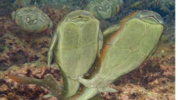 O acasalamento do Microbrachius dicki era feito com uma espécie de dança, em que a penetração ocorria de forma lateral e de 'mãos dadas' Foto: BBCBrasil.com