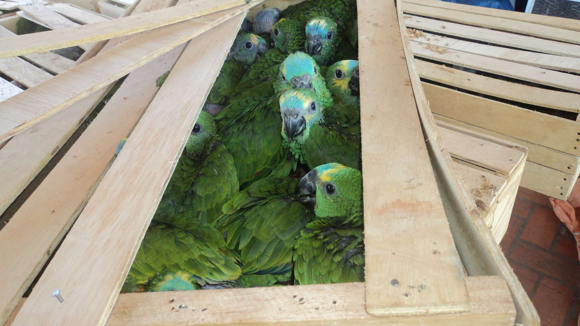 Filhotes de papagaios estavam escondidos em caixas de madeira Foto: Divulgação / Polícia Militar Ambiental do Mato Grosso do Sul
