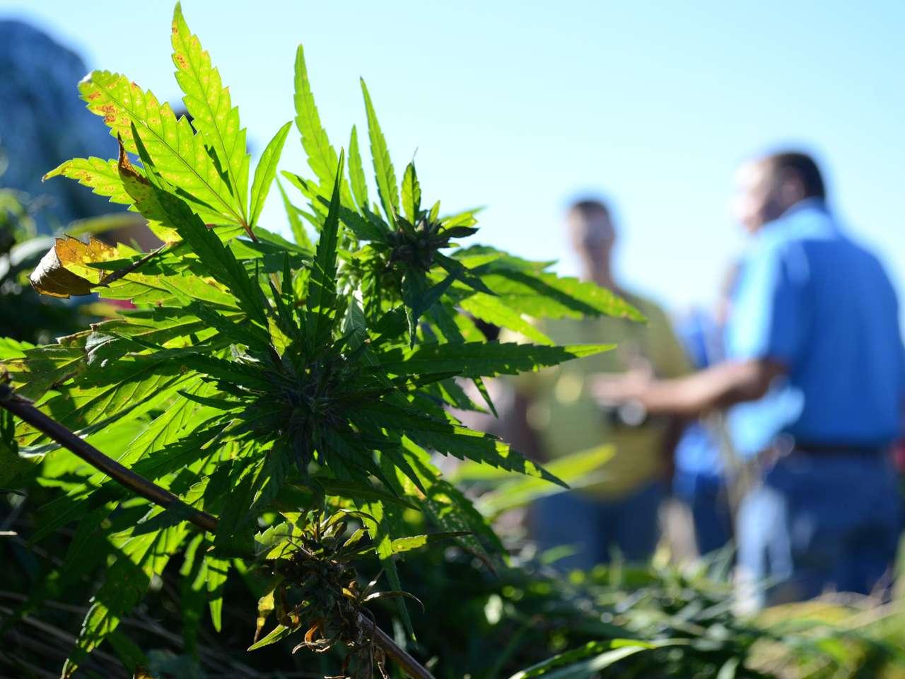 Los narcotraficantes cultivan las plantas de marihuana en medio de los bosques, rodeadas de pinos y robles, para que sea difícil identificarlas Foto: Dylan Lovan/AP