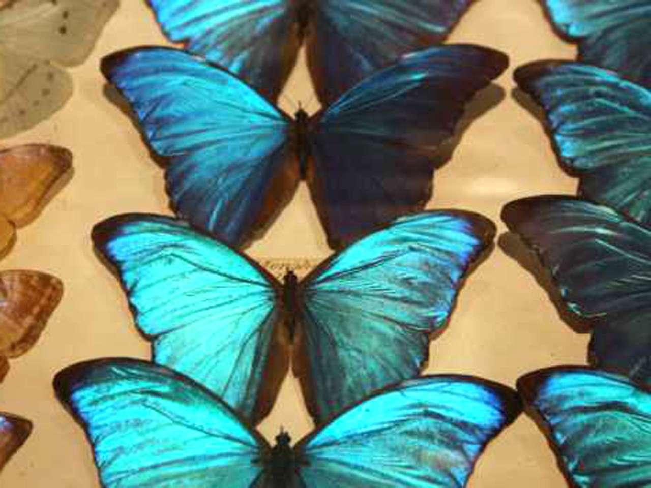 Las capas desordenadas de cristales crean un efecto tornasolado en las mariposas. Foto: BBCMundo.com