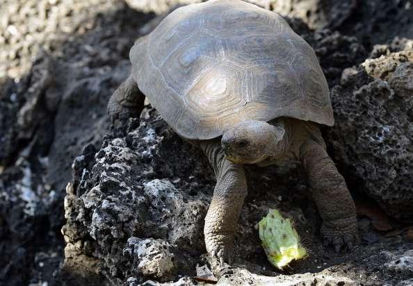 Las tortugas gigantes pueden vivir por más de 100 años y llegar a pesar hasta 250 kilos. Foto: Archivo/Getty Images