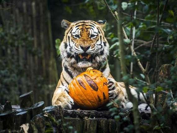 Un tigre siberiano descansa junto a una calabaza de Halloween en sus garras, la cual le fue entregada para que juegue con ella, en el zoológico Dierenpark de Amersfoort, Holanda. Foto: EFE en español