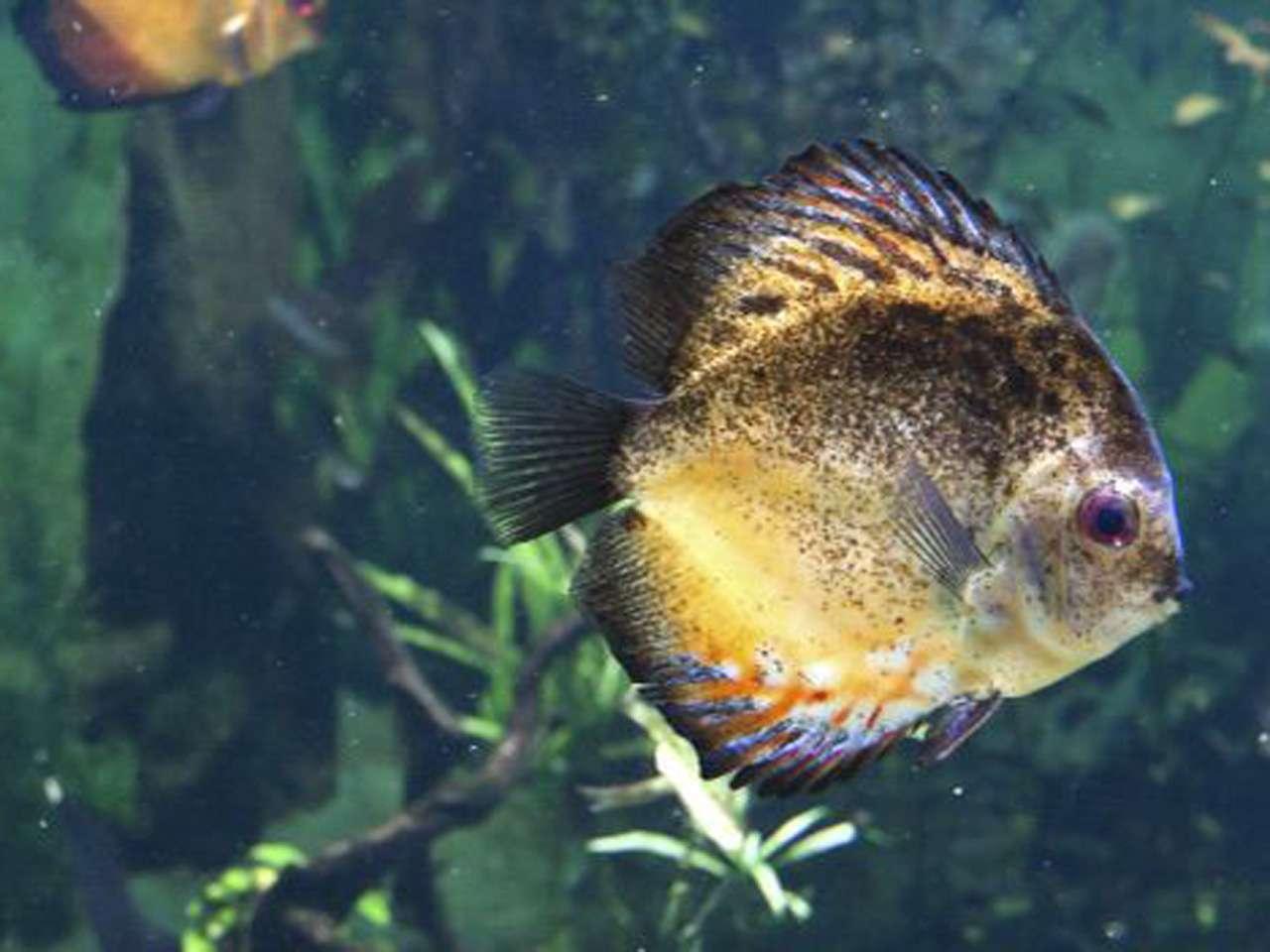 Algunos peces guardan los huevos en su boca y no se alimentan hasta que nacen sus crías Foto: Thinkstock