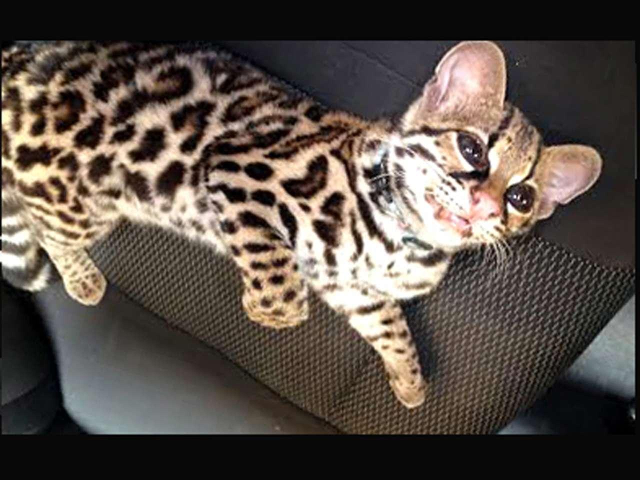 Un ejemplar de tigrillo de la especie Leopardus wiedii fue rescatado por personal de la Procuraduría Federal de Protección al Ambiente (PROFEPA), Delegación Oaxaca, tras una denuncia en Facebook. Foto: Profepa