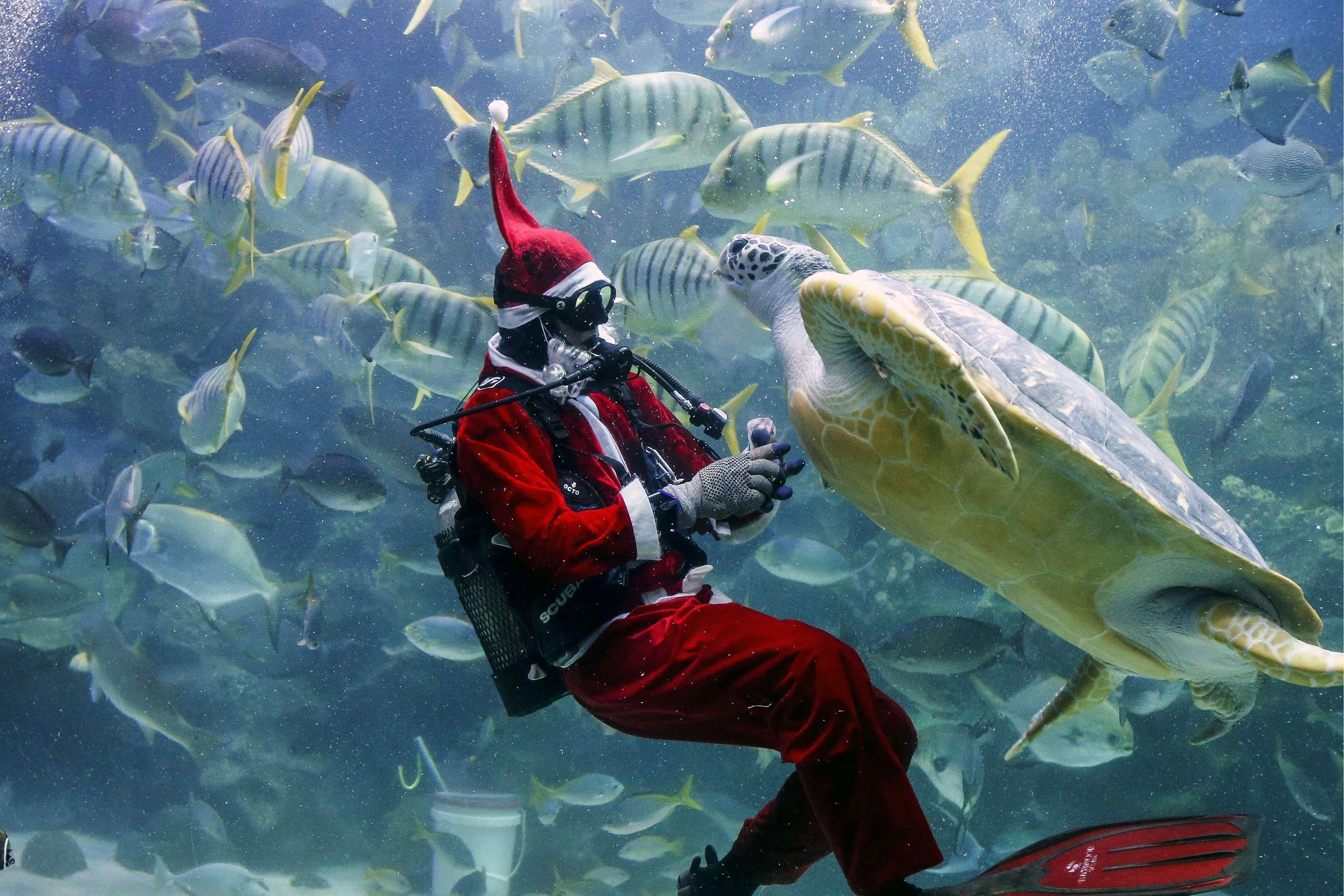Un buzo vestido de Santa Claus submarino (Papa Noel) alimenta a una tortuga durante un espectáculo en el acuario KLCC de Kuala Lumpur, Malasia. Foto: EFE en español