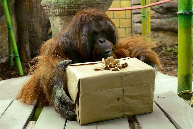 Los animales abrieron anticipadamente sus regalos de Navidad durante las actividades realizadas con motivos de las fiestas navideñas en el Parque Zoologico Buin Zoo, ubicado en el kilometro 32 de Panamericana Sur. Foto: Agencia UNO