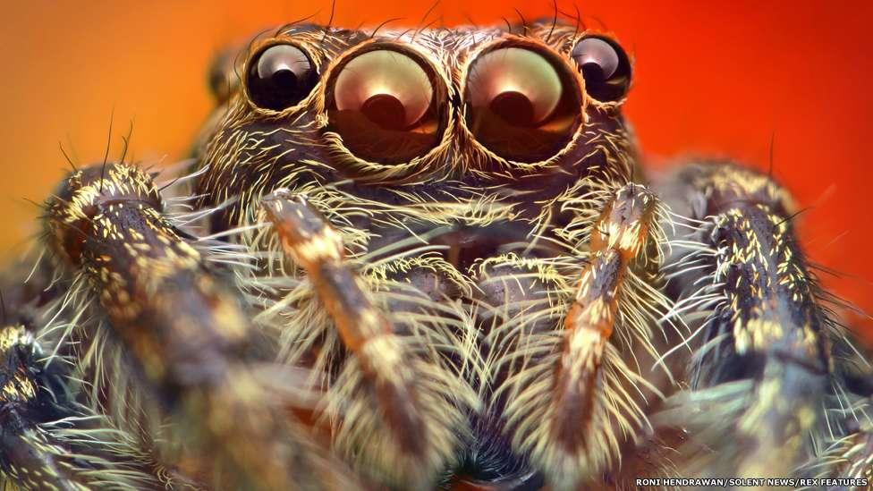 Nelas, Roni Hendrawan revelou detalhes supreendentes desses animais peludos de oito patas Foto: Roni Hendrawan/Solent News/Rex Features/BBCBrasil.com