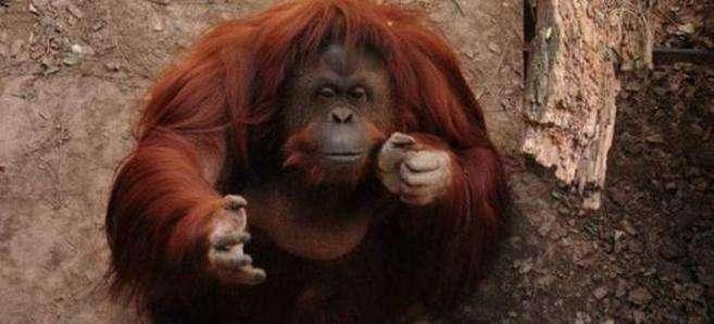 El orangután Sandra en el Zoológico de la ciudad de Buenos Aires. Foto: Twitter @Pacma