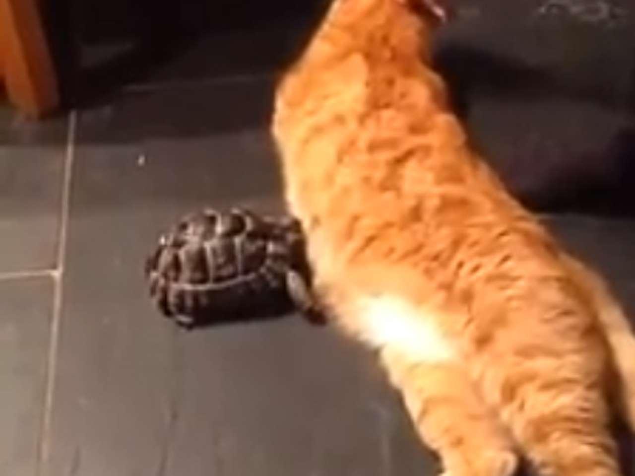 Tortuga acosa insistentemente a un gato. Foto: Facebook