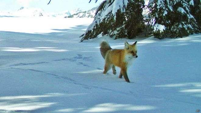 Esta es la primera vez en 100 años que se documenta la presencia del zorro dentro del Parque de Yosemite Foto: AP en español