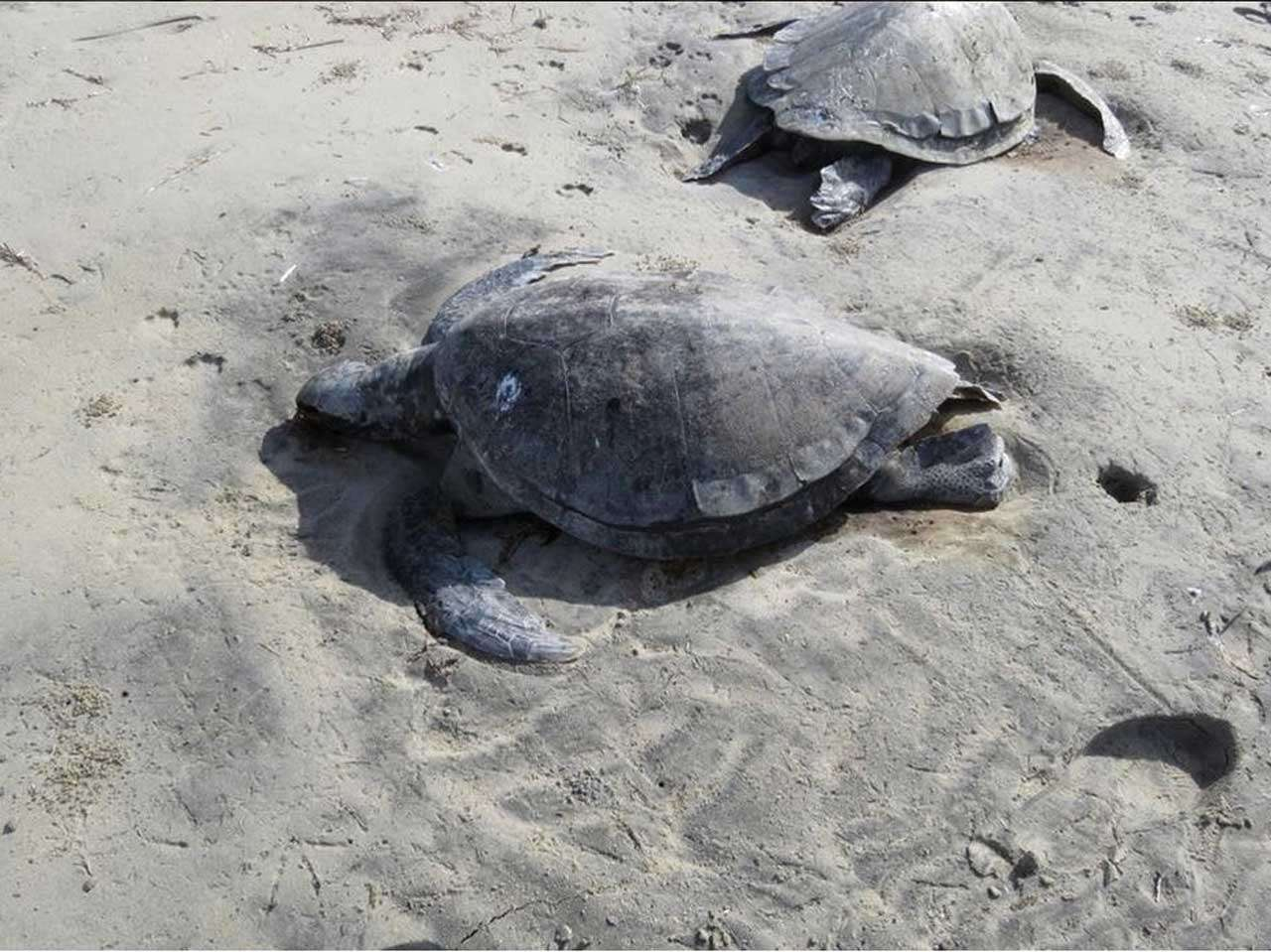 150 tortugas fueron encontradas muertas en la laguna Ojo de Liebre en Baja California Sur, el 30 de enero de 2015, las autoridades creen que murieron por hipotermia. Foto: @PROFEPA_Mx/Twitter