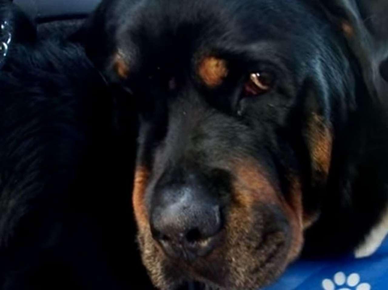 La raza rottweiler suele tener fama de agresiva, este perro muestra un lado diferente de este animal. Foto: YouTube.com