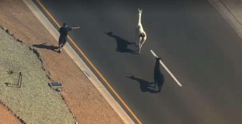 Caçada a lhamas por ruas do Arizona vira drama transmitido ao vivo na TV Foto: Twitter