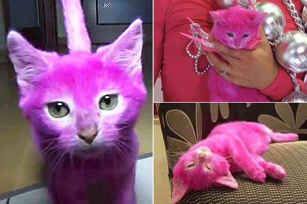 Gato foi tingido de rosa, mas acabou morrendo intoxicado Foto: The Mirror/Reprodução