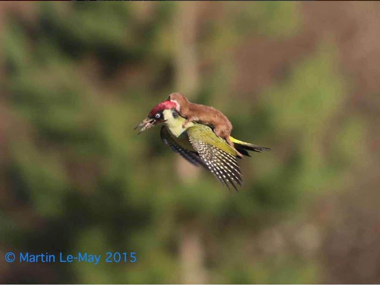 La increíble foto de una comadreja volando sobre un pájaro carpintero se volvió un fenómeno de internet, la foto fue tomada el 2 de marzo de 2015. Foto: @_Ochouno/Twitter
