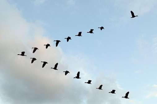 Los nervios en la base de sus plumas les permiten detectar la corriente de aire que se registra sobre sus alas y monitorear muy precisamente las turbulencias. Foto: Getty Images