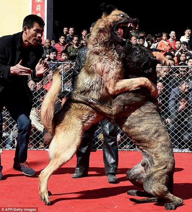 Imagens de briga entre cães no Festival de Primavera da cidade de Sanjiao, na província de Jishan, causam revolta Foto: Daily Mail/Reprodução