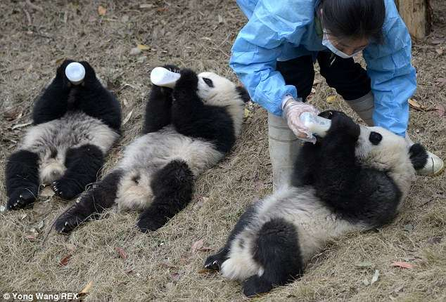 Filhotes de panda mamam em parque e encantam visitantes Foto: Daily Mail/Reprodução