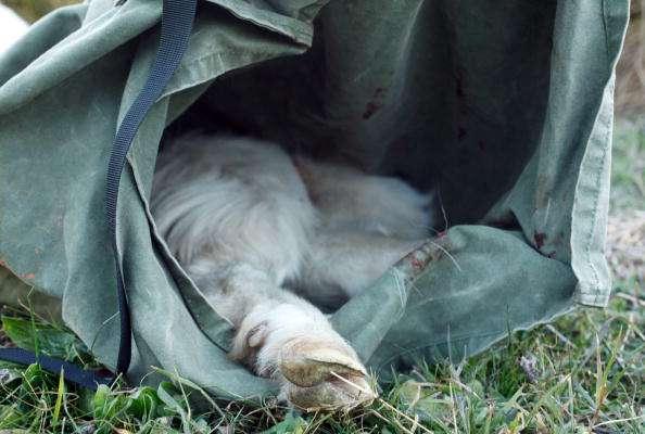 Desde comienzos del año ha habido al menos ocho descubrimientos de cabras, ovejas, pollos y otros animales en varios lugares de Sacramento. Imagen de ilustración. Foto:  Mark Kolbe/Getty Images/Archivo
