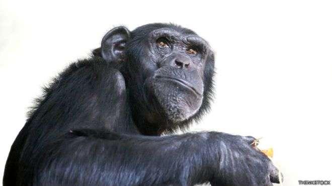 Los chimpancés se las rebuscan para llamar la atención de las hembras. Foto: BBC Mundo/Thinkstock